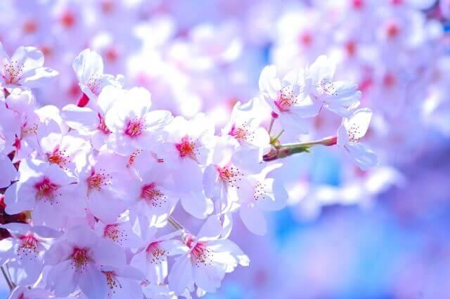 kyuujinn-koukoku-sakura